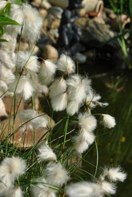 schmalblätt.Wollgras Eriophorum angustifolium