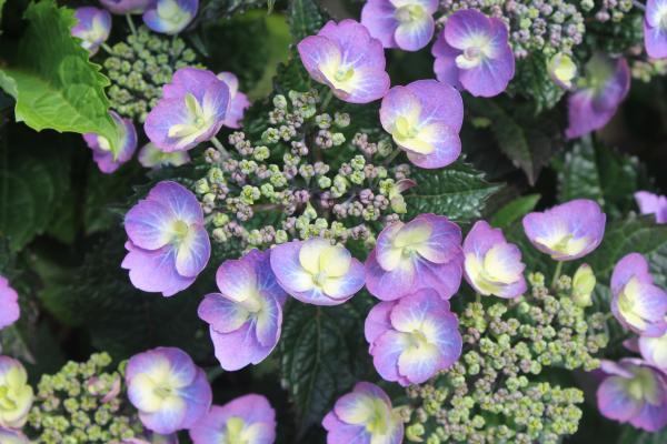 Hydrangea 'Flair & Flavour' Blueberry Cheesecake®