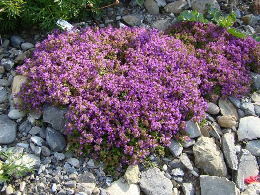 Thymian Thymus - serphyllum 'Coccineus'