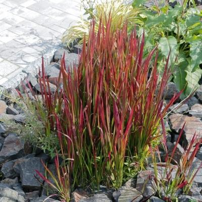 Imperata ( Jap. Garten-Blutgras ) - cylindrica 'Red Baron'