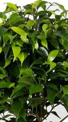 Birkenfeige Kinky® - Ficus benjamina