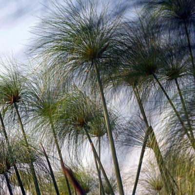 langes Zyperngras Cyperus longus