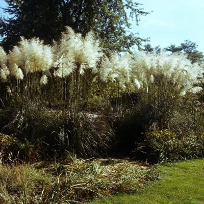 Cortaderia ( Pampasgras ) - selloana 'Sunningdale Silver'