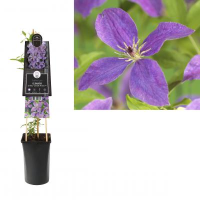 Clematis So Many® Lavender Flowers PBR