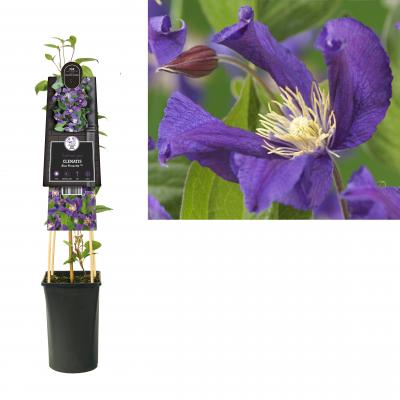 Clematis  Blue Pirouette PBR
