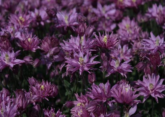 Akelei Aquilegia - vulgaris