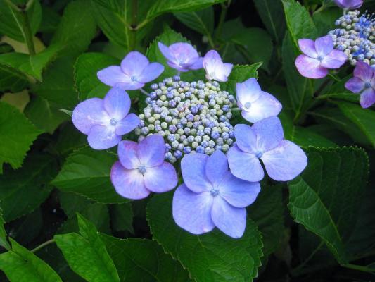 Teller Hortensie Hydrangea macrophylla 'Blue Sky'