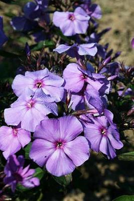 Flammenblume Phlox - paniculata 'Blue Paradise'
