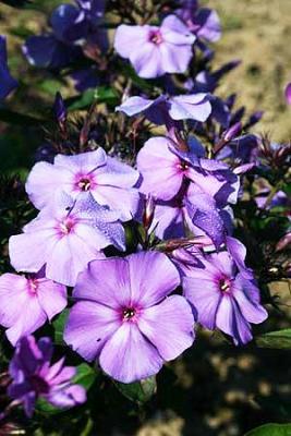 Flammenblume Hoher Phlox - paniculata 'Blue Paradise'