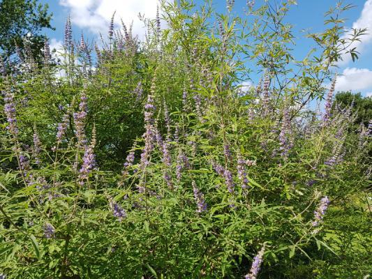 Mönchspfeffer, Keuschbaum - Vitex agnus-castus latifolia
