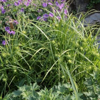 Carex  ( Segge ) - grayi
