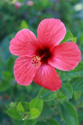 Garteneibisch 'Pink Giant' ® - Hibiscus syriacus