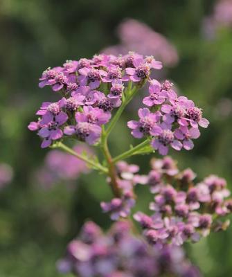 Scharfgarbe Achillea - millefolium 'Lilac Beauty'