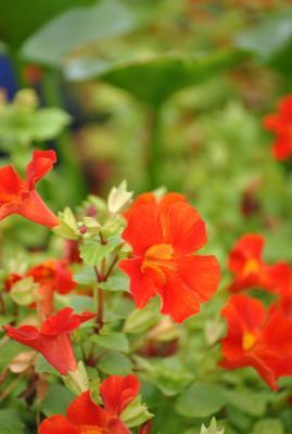 "Gauklerblume rot Mimulus cupreus ""Roter Kaiser"""