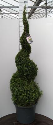 Thuja occidentalis Smaragd - Spiralform