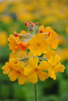Terakotta Primel Primula bullesiana