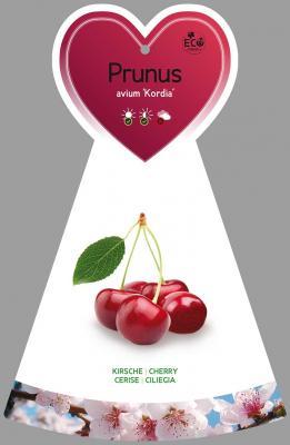 Süßkirsche 'Kordia' Prunus avium