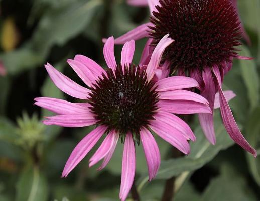 Sonnenhut Echinacea - purpurea 'After Midnight' ®