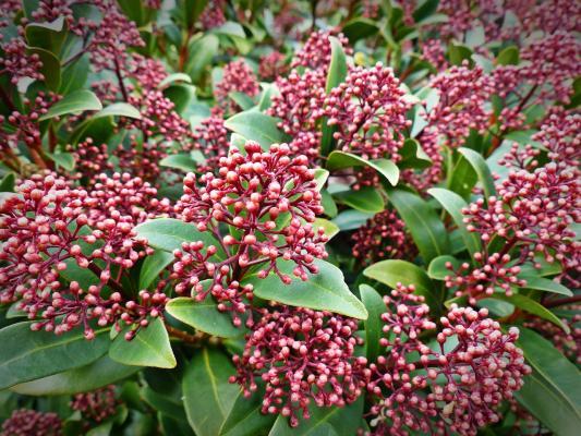 Japanische Blütenskimmie - Skimmia j. 'Rubella'