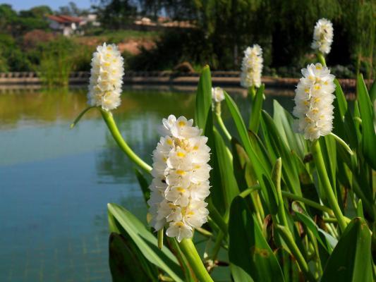 weisses Hechtkraut Pontederia cordata alba