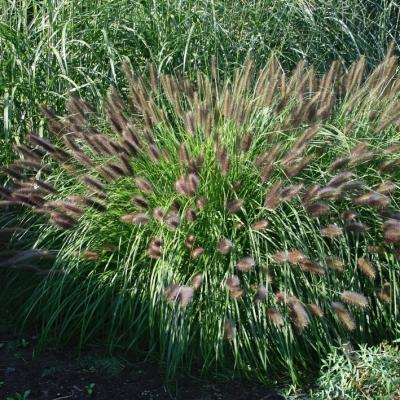 Pennisetum ( Lampenputzergras ) - alopecuroides 'Moudry'