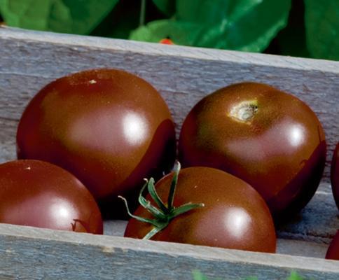 Schokoladen-Tomate 'Kakao veredelt'