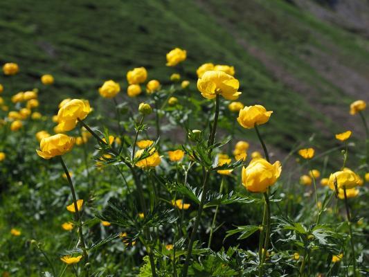 Dotterblume Trollius  - europaeus (giftige Pflanze)