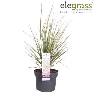 XXL Premium Reitgrass Calamagrostis x acutiflora Overdam