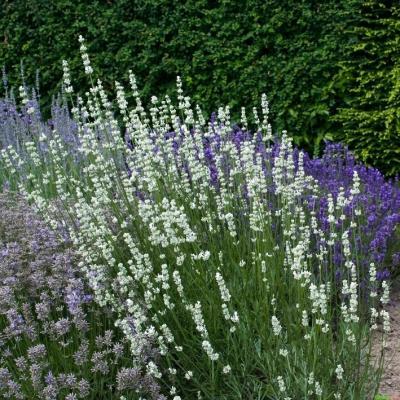Lavendel Lavandula - angustifolia weiß 'Nana Alba'