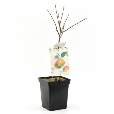 Bio Apfelbaum - Cox's Orange