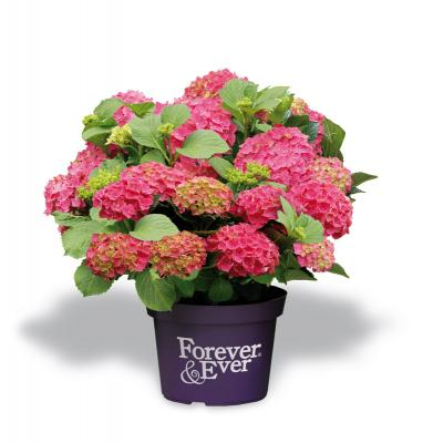 Forever and Ever® red Hortensie