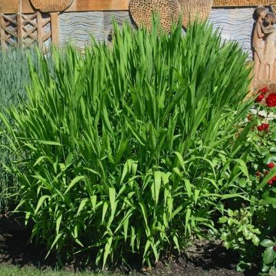 Chasmanthium ( Plattährengras ) - latifolium