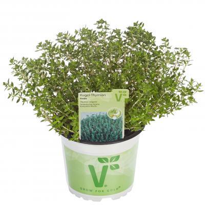 Kugel-Thymian Thymus vulgaris Fredo