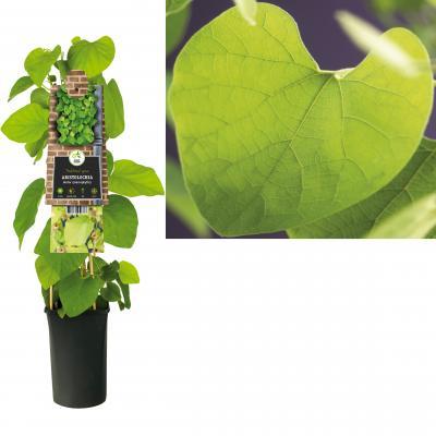 Amerikanische Pfeifenwinde -  Osterluzei - Gespensterpflanze Aristolochia  durior (macrophylla)