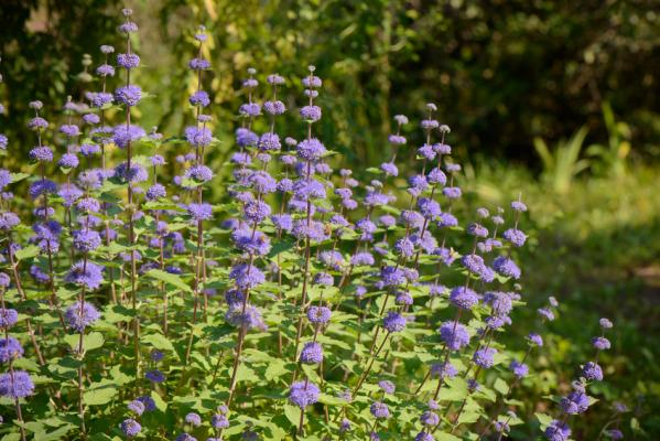 Bartblume - Caryopteris cland. Grand Bleu
