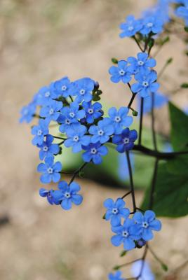 "Sumpfvergissmeinnicht Myosotis ""Pit Bakker blue"""