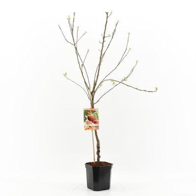 Apfelbaum - Malus dom. Elstar