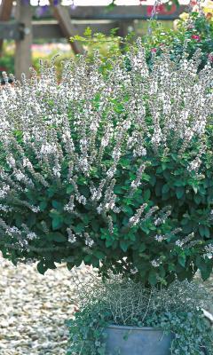 Strauchbasilikum Ocimum x hybrida Magic White