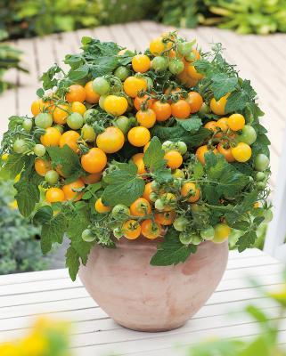 Gelbe Zwerg-Tomate Primagold® gelb
