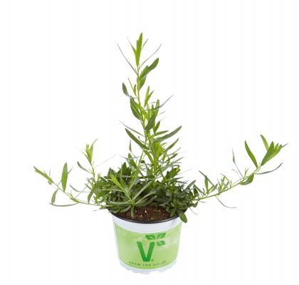 Französischer Estragon Artemisia dracunculus Pfefferkorn