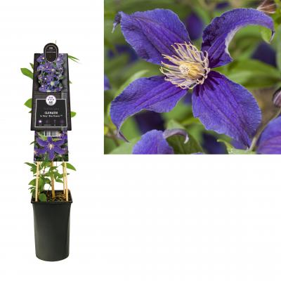 Clematis So Many® Blue Flowers PBR