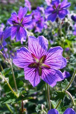 Storchenschnabe Geranium - renardii 'Terre Franche'