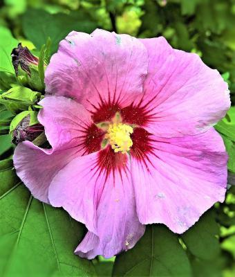 Garteneibisch 'Woodbridge' - Hibiscus syriacus