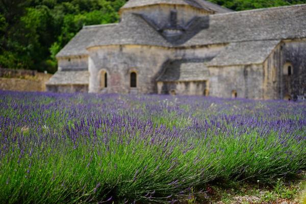 Lavendel Lavandula - angustifolia 'Brabant's Lust'