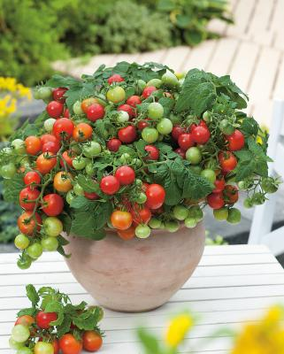 Zwerg-Tomate 'Primabell®' rot