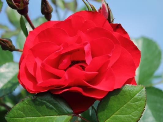 Beetrose - Black Forest Rose (ADR)