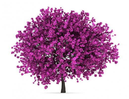 Kanadischer Judasbaum Cercis chinensis 'Avondale'