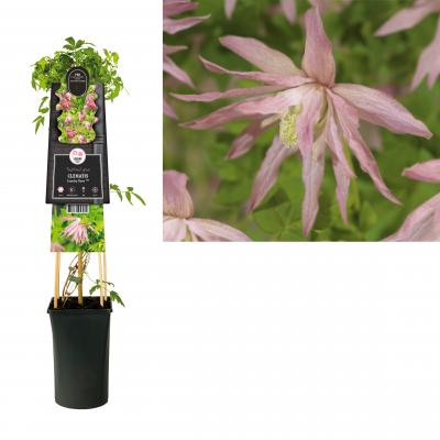 Clematis  Country Rose PBR