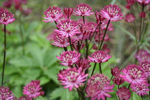 Sterndolde Astrantia - major 'Claret'