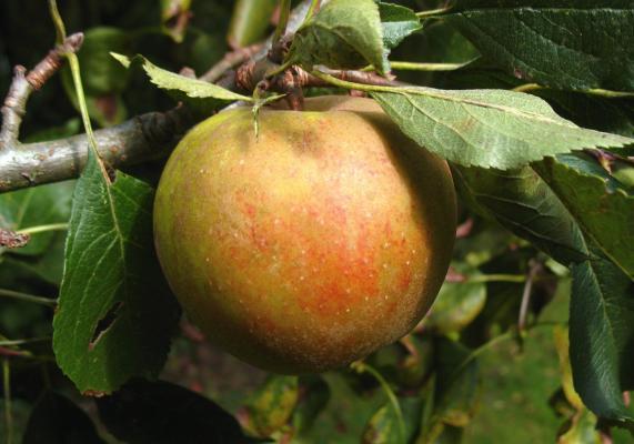 Apfelbaum - Holsteiner Cox MM 111